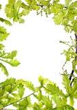 框架绿色leafage橡木 免版税库存照片