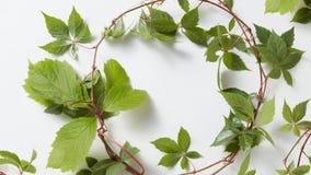 框架绿色常春藤植物常春藤属螺旋 库存照片