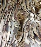 桉树结构树 免版税库存图片