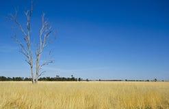 桉树胶树在Parkes,新南威尔斯,澳大利亚附近的干草草甸 库存照片