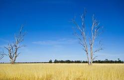 桉树胶树在Parkes,新南威尔斯,澳大利亚附近的干草草甸 免版税库存图片