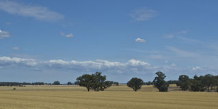 桉树胶树在Parkes,新南威尔斯,澳大利亚附近的干草草甸 库存图片