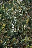 桉树胶海岛马德拉岛北部结构树 库存图片