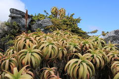 桌山的南非植物 库存图片