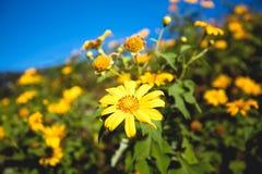 桐树Bua钳子,在土井Mae U kh的这个花电话墨西哥向日葵 库存图片