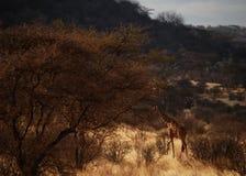 桑布鲁长颈鹿 库存图片