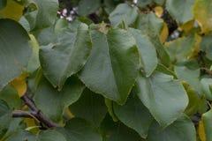 桑树叶子在新墨西哥 图库摄影