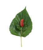 桑树和叶子 免版税库存照片