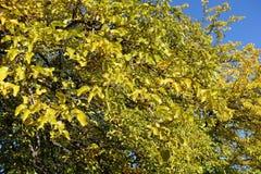 桑树明亮的黄色leafage反对天空蔚蓝的 库存照片