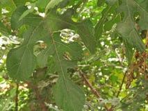 桑树植物/SCIENTIFIC名字;桑属 免版税库存照片