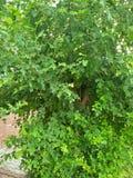 桑树植物/SCIENTIFIC名字;桑属 图库摄影