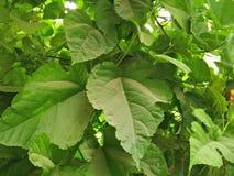 桑树植物/SCIENTIFIC名字;桑属 库存图片