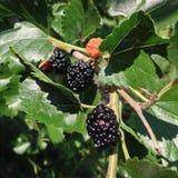 桑树的莓果 免版税库存图片