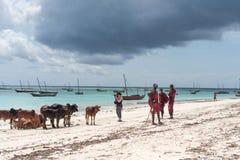 桑给巴尔母牛和本机在海洋旁边的 免版税库存图片