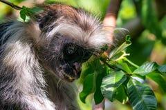 桑给巴尔红色疣猴或Procolobus kirkii 免版税库存图片