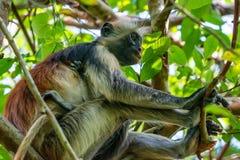 桑给巴尔红色疣猴或Procolobus kirkii 库存图片
