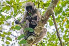 桑给巴尔红色疣猴或Procolobus kirkii 图库摄影