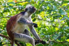 桑给巴尔红色疣猴或Procolobus kirkii 免版税图库摄影