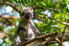 桑给巴尔红色疣猴或Procolobus kirkii 库存照片