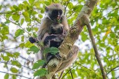 桑给巴尔红色疣猴或Procolobus kirkii 免版税库存照片