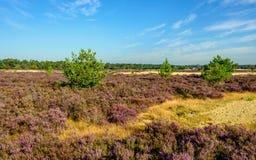 桑迪与紫色开花的石南花的自然保护 库存图片