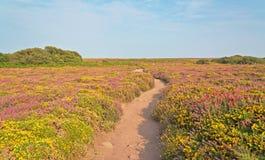 桑迪道路穿过黄色和紫色花的领域 Frehel海角  britte 免版税图库摄影