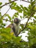桑给巴尔,红色疣猴的一只成年男性猴子 免版税库存图片