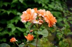 桔子上升了开花在后院 免版税库存照片