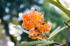 桔子兰花美丽在庭院里 免版税库存图片