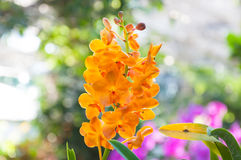 桔子兰花美丽在庭院里 库存照片