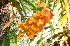 桔子兰花美丽在庭院里 库存图片