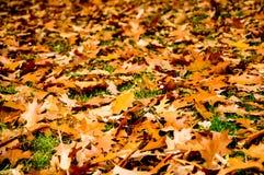 桔子叶子在秋天 免版税图库摄影