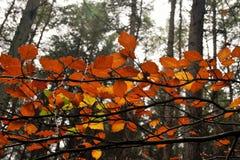桔子叶子在老森林里 免版税库存照片
