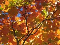 桔子和红色叶子 免版税图库摄影