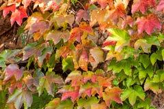 桔子和绿色叶子 库存图片