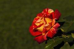 桔子和黄色玫瑰 库存照片