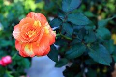 桔子和黄色玫瑰 库存图片