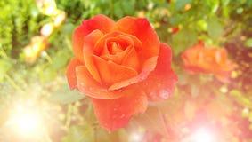 桔子在接近的庭院里上升了- 在瓣的露滴 太阳的光芒在框架的 库存照片
