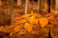 桔子在秋天离开在魁北克,加拿大 库存图片