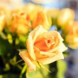 桔子在背景中上升了与玫瑰 库存图片