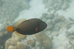 桔子在素林海岛的被排行的引金鱼 免版税库存图片