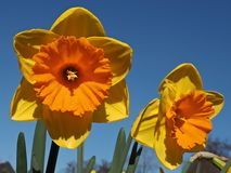 桔子填装了开花的黄水仙 免版税库存图片