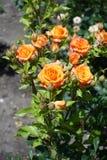 桔子开花的分支在庭院里上升了 库存照片