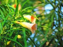 桔子开花黄色夹竹桃花,在树的幸运的坚果花 库存图片