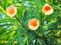 桔子开花黄色夹竹桃花,在树的幸运的坚果花 库存照片
