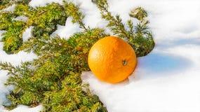 桔子温暖asmall被雪包围住的冷杉木 库存图片