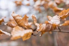 桔子烘干了在许多的分支的死者叶子密集的秋天起皱纹的Ou 库存照片
