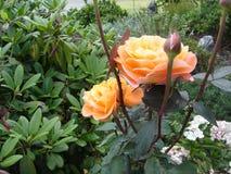 桔子玫瑰侧视图 免版税库存图片