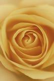 桔子玫瑰色宏观画象 免版税库存图片