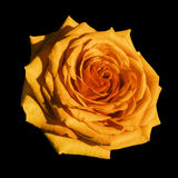 桔子玫瑰色花黑色隔绝了与裁减路线的背景 特写镜头没有阴影 免版税图库摄影